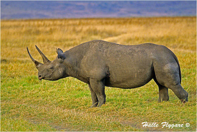 Rhino by Halle Flygare ©
