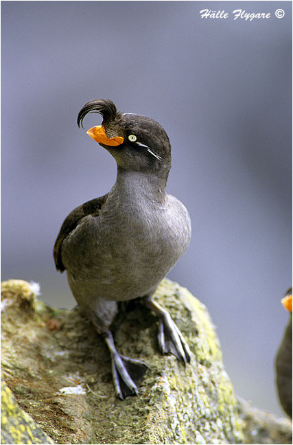 "Crested Auklet ""Aethia cristatella""  photography by Hälle Flygare"