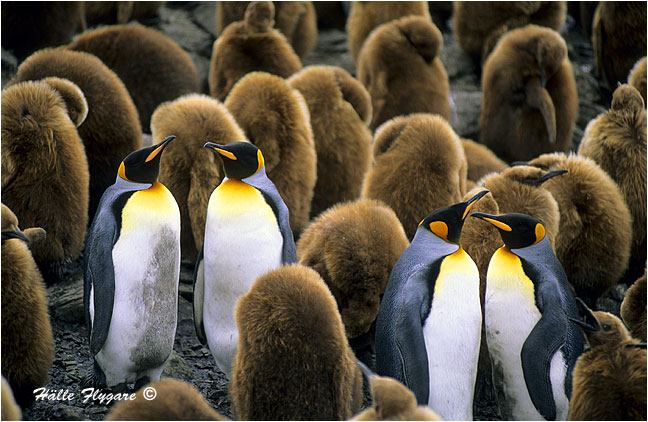 "King Penguin and Downie Chicks ""Aptenodytes patagonicus""  photography by Hälle Flygare"