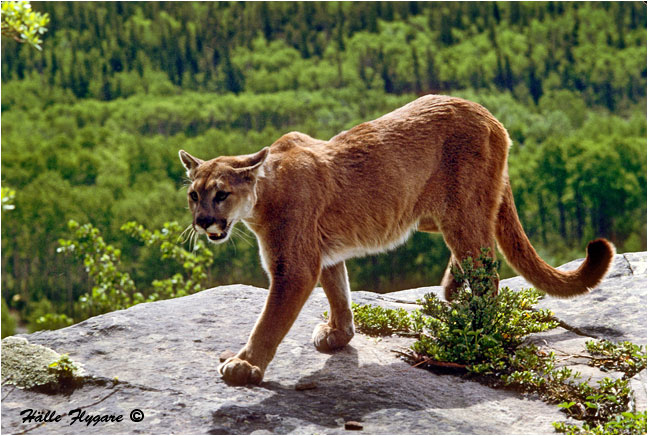 "Cougar Female ""Puma concolor""  by Halle Flygare ©"