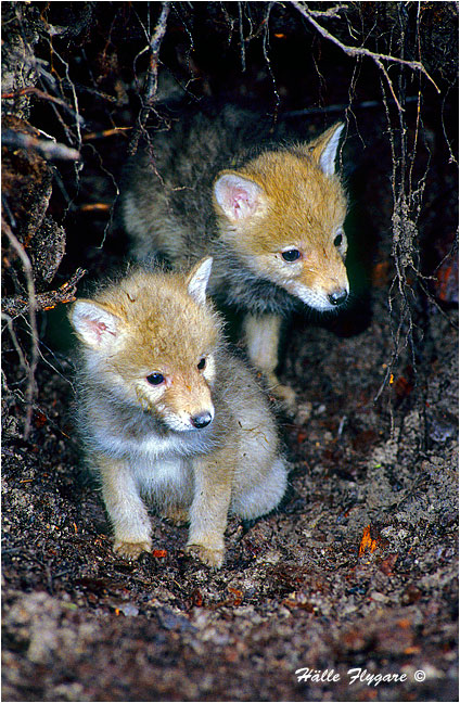 Coyote Pups - Canis Latrans - Halle Flygare ©