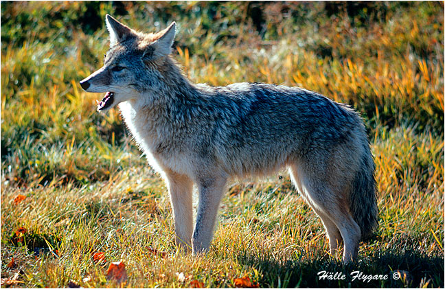 Coyote - Canis Latrans - Halle Flygare ©