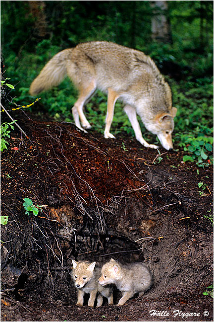 Coyote Female with Pups - Canis Latrans - Halle Flygare ©