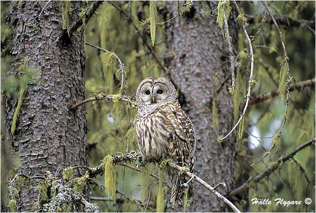 "Barred Owl ""Strix varia""  photography by Hälle Flygare"