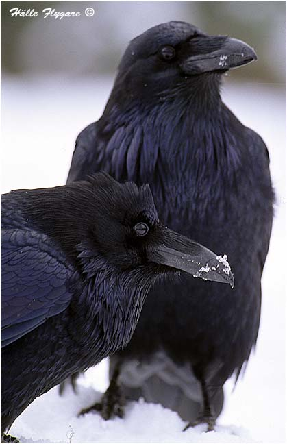 "Common Raven - Female & Male ""Corvus corax"" photography by Hälle Flygare"