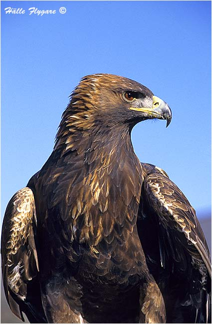 "Golden Eagle ""Aquila chrysaetos""  photography by Hälle Flygare"