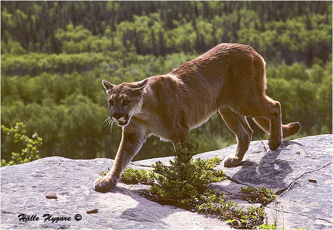 "Cougar ""Felis concolor"" photography by Hälle Flygare"