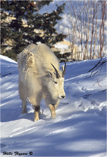 "Mountain Goat Billy ""Oreamnos americanus""  photography by Hälle Flygare"