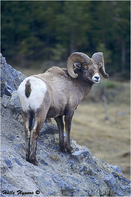 "Bighorn Sheep Ram ""Ovis canadensis"" photography by Hälle Flygare"