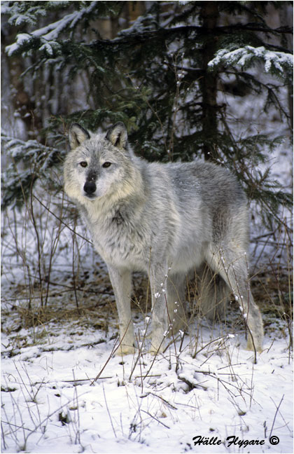 "Gray Wolf ""Canis lupus""  photography by Hälle Flygare"