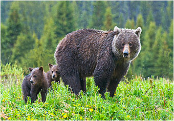 Canadian Rockies Grizzly bear and Cubs by Halle Flygare