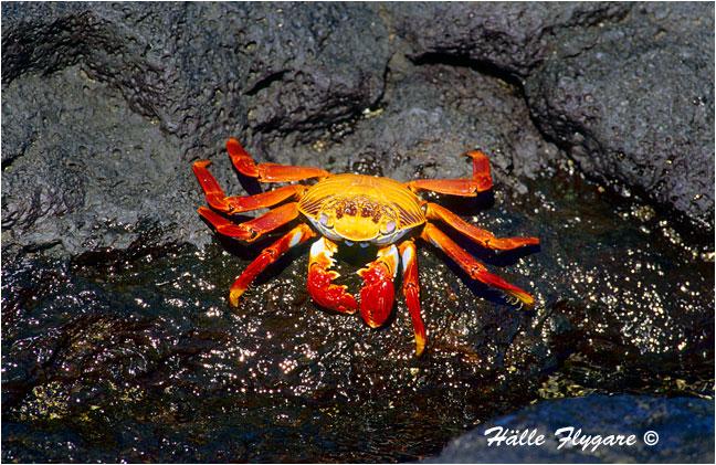 "Sally Lightfoot Crab ""Grapsus grapsus"" by Halle Flygare ©"