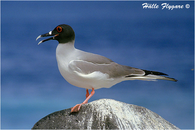 "Swallow-tailed Gull ""Creagrus furcatus"" by Halle Flygare ©"