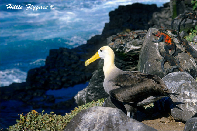 "Waved Albatross ""Diomedea irrorata"" by Halle Flygare ©"