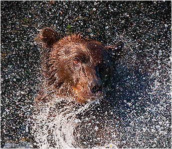 Brown Bear Swirl by Halle Flygare ©