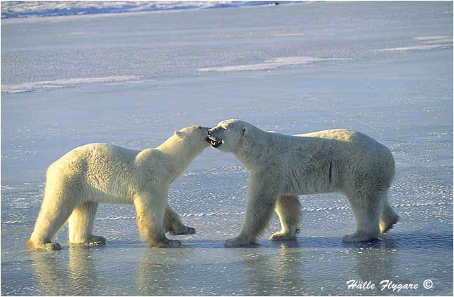 "Polar Bear - Males Sparring ""Ursus maritimus"" photography by Hälle Flygare"
